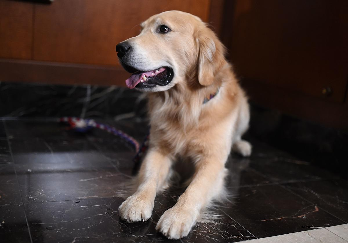 A Golden Retriever at the American Kennel Club
