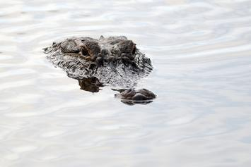 Alligator Allegedly Drags Florida Woman Into Pond; Police Search Underway