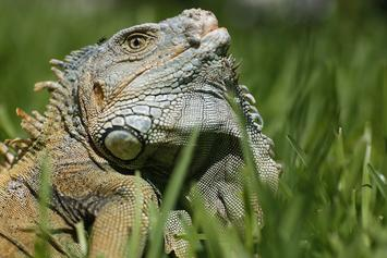Iguana Invasion Has Floridians Getting The Strap