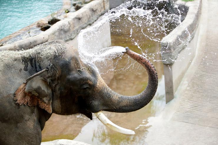 Kosik a 27 year old male Asian elephant enjoys water during the summer season to get by the heat at the Everland Amusement Park on June 21, 2017 in Yongin, South Korea.
