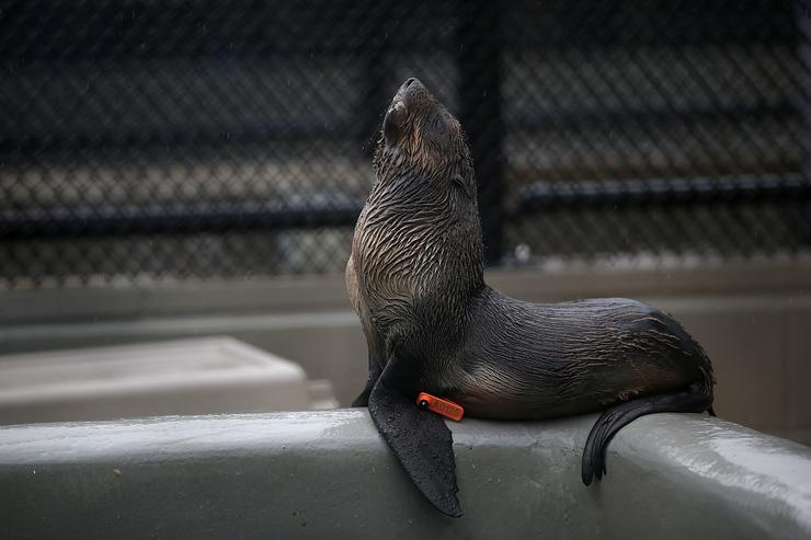 A sick and malnourished Northern Fur Seal pup sits in an enclosure at the Marine Mammal Center on November 24, 2015 in Sausalito, California.